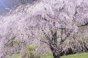 絢爛たる枝垂れ桜の素材 [FYI00480665]