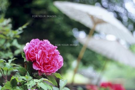 野点傘と牡丹の写真素材 [FYI00480671]