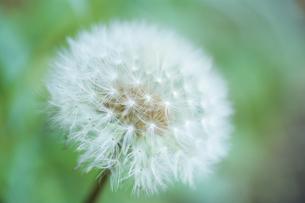 純白の綿毛の写真素材 [FYI00480674]