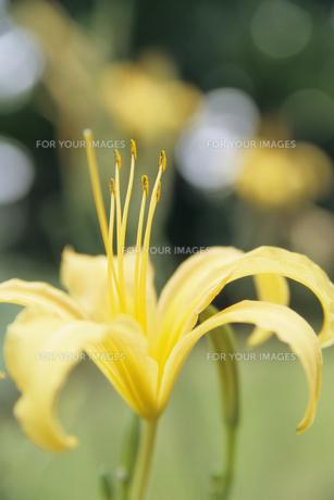 カンゾウの花の素材 [FYI00480679]