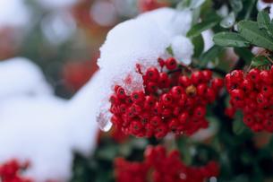 雪とピラカンサスの実の写真素材 [FYI00480727]