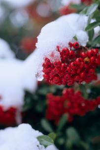 雪とピラカンサスの実の写真素材 [FYI00480729]