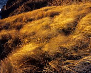風になびく草垣の写真素材 [FYI00480744]