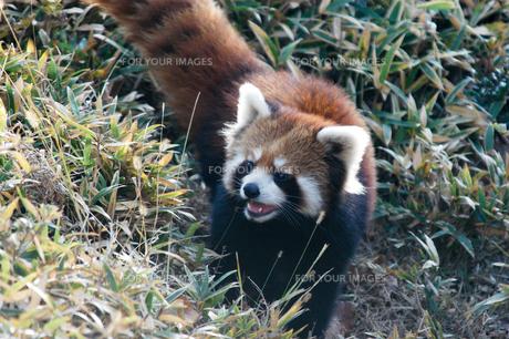 怒るレッサーパンダの写真素材 [FYI00480790]