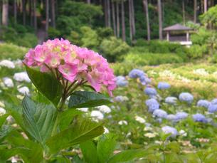 桃色の紫陽花の写真素材 [FYI00480810]