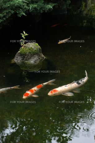 優雅に泳ぐ鯉の写真素材 [FYI00480812]