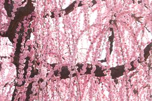 あでやかな枝垂れ梅の写真素材 [FYI00480825]