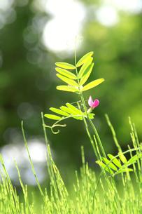 草むらのカラスノエンドウの写真素材 [FYI00480843]