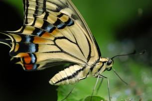アゲハ蝶の紋様の写真素材 [FYI00480846]