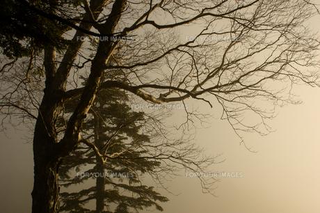 光を抱く枯木の写真素材 [FYI00480849]