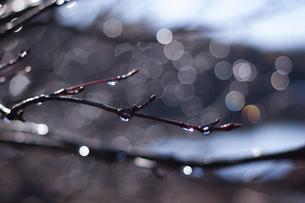 小枝のしずくの写真素材 [FYI00480852]