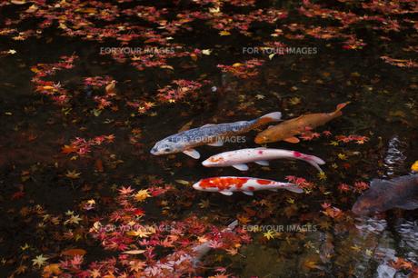 雅やかな鯉の写真素材 [FYI00480856]