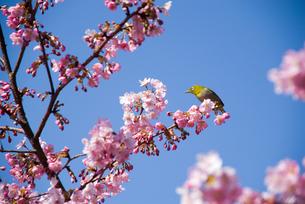 河津桜の花とメジロの素材 [FYI00480869]