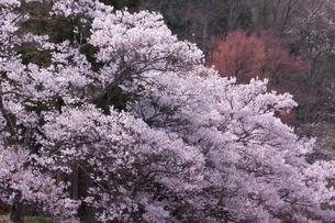 長野県伊那市高遠のコヒガンザクラの素材 [FYI00480892]