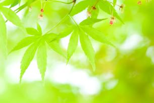 楓の若葉の写真素材 [FYI00480893]