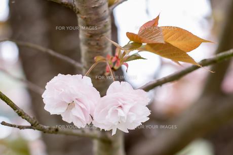 牡丹桜の写真素材 [FYI00480895]