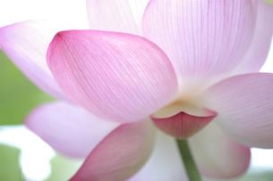 輝くハスの花の素材 [FYI00480930]