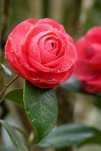 椿の花と朝露の素材 [FYI00480947]