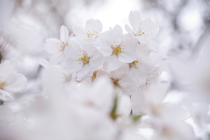 無垢なサクラの花の素材 [FYI00480948]