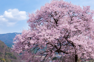 長野県伊那市高遠のコヒガンザクラの写真素材 [FYI00480950]