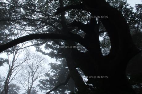巨木のシルエットの素材 [FYI00480958]