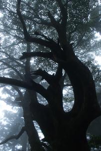 巨木のシルエットの素材 [FYI00480960]