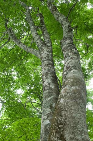 新緑のブナの木の素材 [FYI00480994]