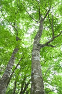 新緑のブナの木の素材 [FYI00480999]