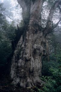 屋久島・縄文杉の全貌の素材 [FYI00481106]