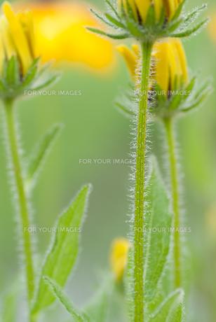 黄色い花の素材 [FYI00481161]