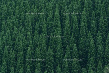 針葉樹林の素材 [FYI00481162]