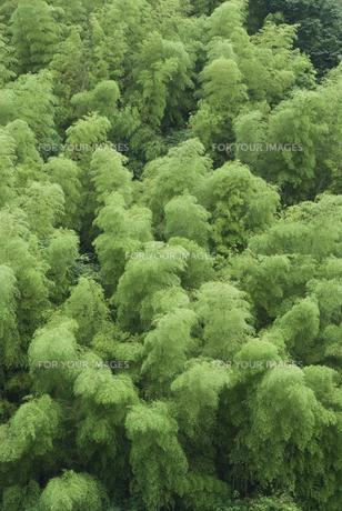 竹林の素材 [FYI00481163]