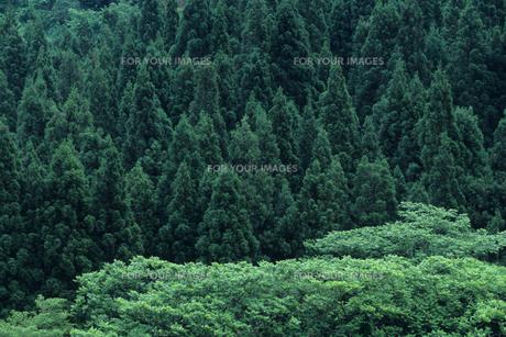 深き緑の杉林の素材 [FYI00481200]