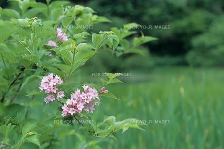 ウツギの花の素材 [FYI00481204]
