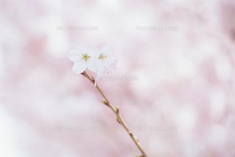 小枝の上の春めき桜の素材 [FYI00481219]