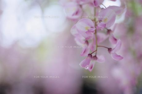 藤の花のクローズアップの素材 [FYI00481223]