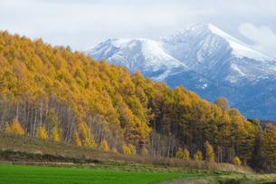 冠雪の富良野岳とカラマツの黄葉の写真素材 [FYI00481303]