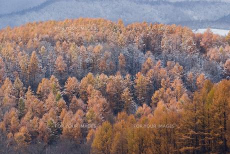 北海道美瑛町・初冬のカラマツ林の素材 [FYI00481307]