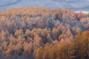 北海道美瑛町・初冬のカラマツ林の写真素材 [FYI00481307]