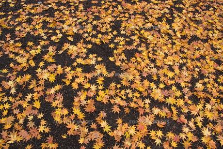 御殿場市・平和公園の落ち葉の絨毯の素材 [FYI00481334]