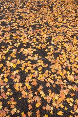 御殿場市・平和公園の落ち葉の絨毯の素材 [FYI00481335]