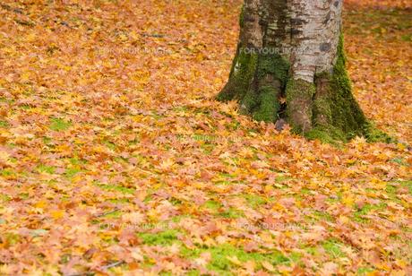 御殿場市・平和公園の落ち葉の絨毯の素材 [FYI00481339]