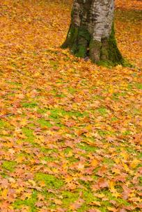 御殿場市・平和公園の落ち葉の絨毯の素材 [FYI00481340]