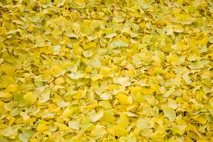 イチョウの落ち葉の絨毯の写真素材 [FYI00481350]