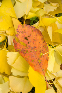 落ち葉の絨毯の中の落ち葉の写真素材 [FYI00481352]