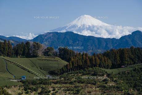 静岡市・吉原から望む富士山とミカンの木の素材 [FYI00481419]