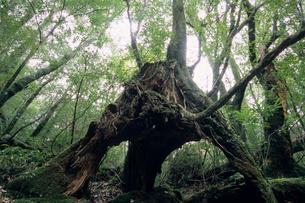屋久島の怪樹の素材 [FYI00481423]