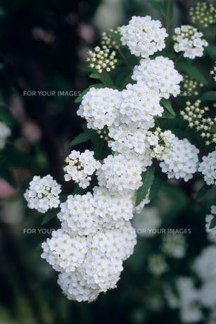 小手毬の花の素材 [FYI00481427]