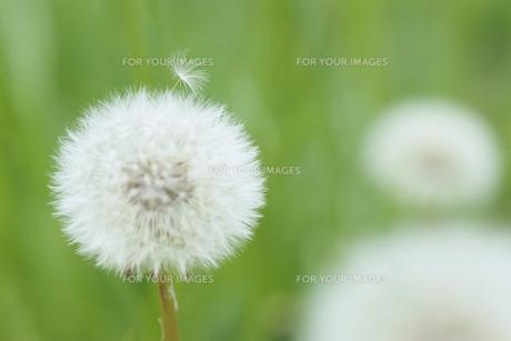タンポポの綿毛の素材 [FYI00481428]