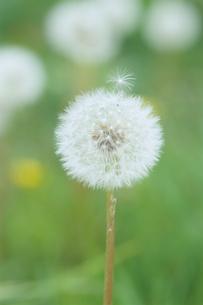旅立つタンポポの綿毛の写真素材 [FYI00481430]